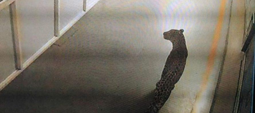 Λεοπάρδαλη έκανε κατάληψη σε εργοστάσιο αυτοκινήτων (video)