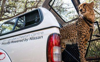 Με ποιο τρόπο η Nissan προστατεύει τις τσιτάχ; (video)