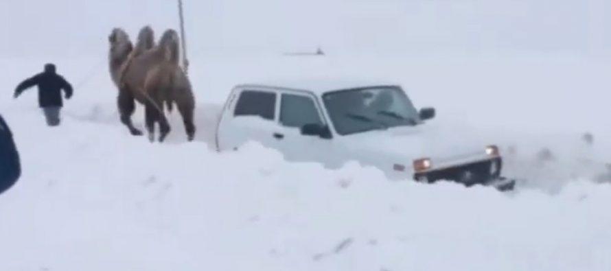 Καμήλα ξεκόλλησε από το χιόνι ένα Lada Niva (video)